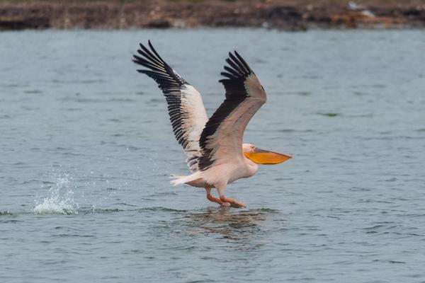 00-пеликан