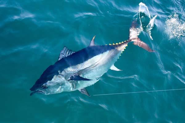00-рыба-тунец