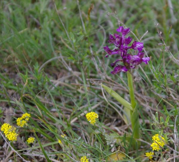 орхидея - ятрышник.