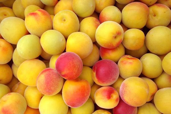 японский абрикос-mume