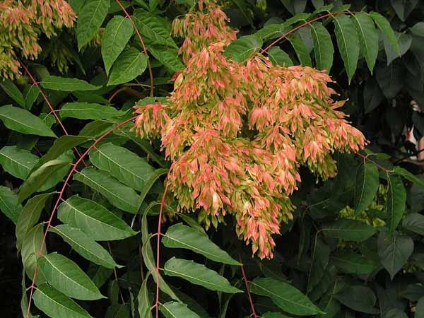 00--Ailanthus-altissima