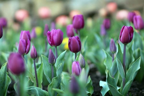 тюльпан9_n