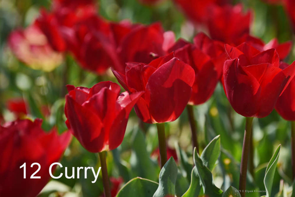 12-Curry