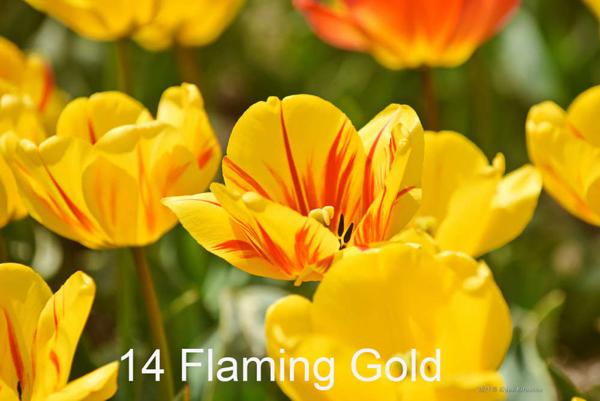 14-Flaming-Gold