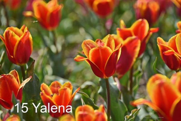 15-Yalena