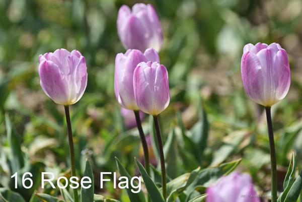 16-Rose-Flag