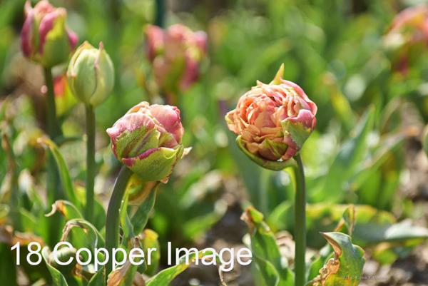 18-Copper-Image