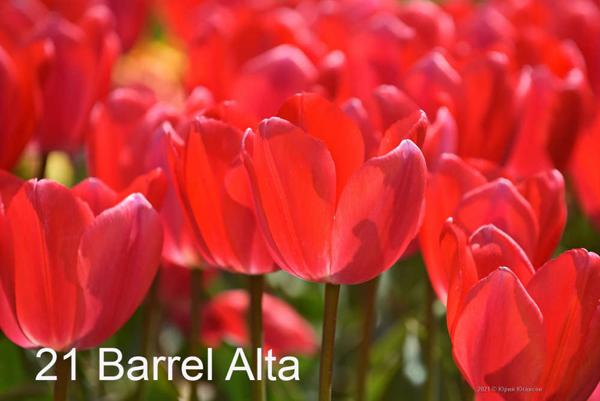 21-Barrel-Alta