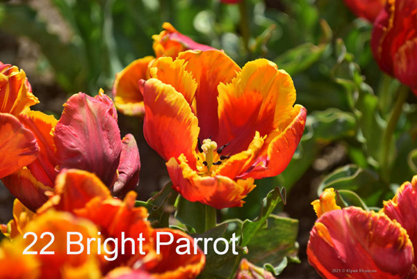 22-Bright-Parrot