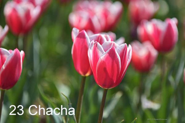 23-Chacha
