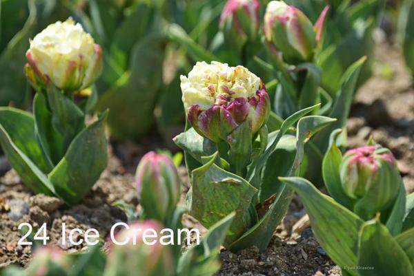 24-Ice-Cream