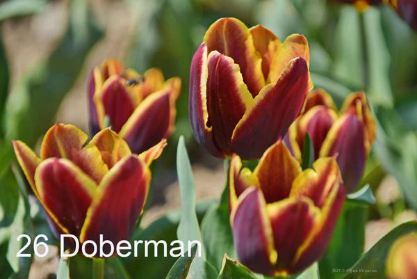 26-Doberman