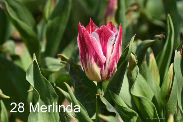 28-Merlinda