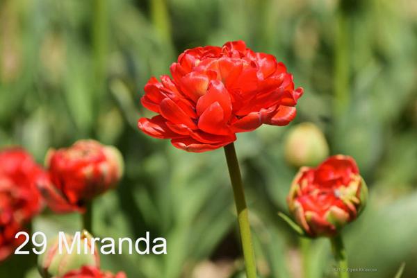 29-Miranda