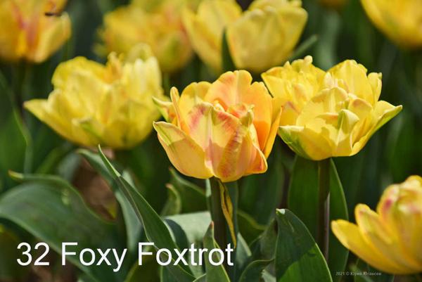 32-Foxy-Foxtrot