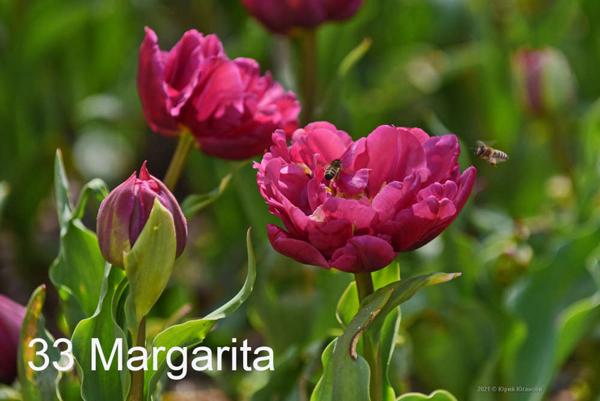 33-Margarita