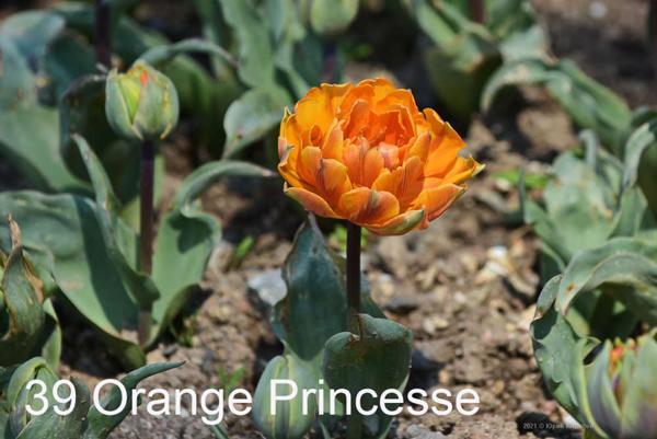 39-Orange-Princesse