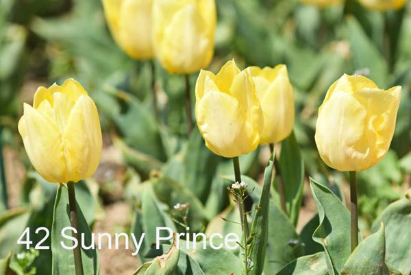 42-Sunny-Prince