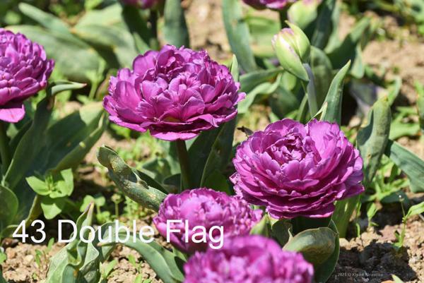 43-Double-Flag