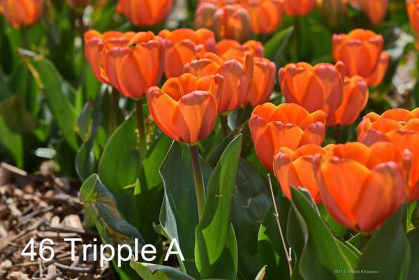 46-Tripple-A