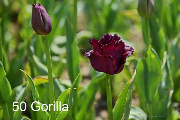 50-Gorilla