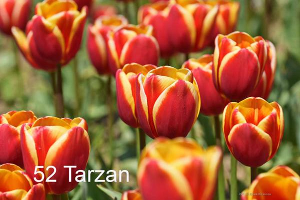 52-Tarzan