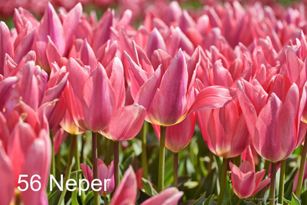 56-Neper