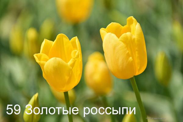59-Zolotye-rossypi