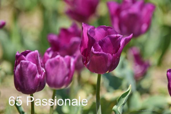 65-Passionale