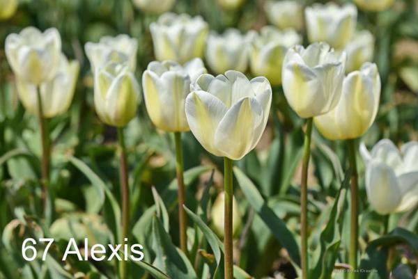 67-Alexis
