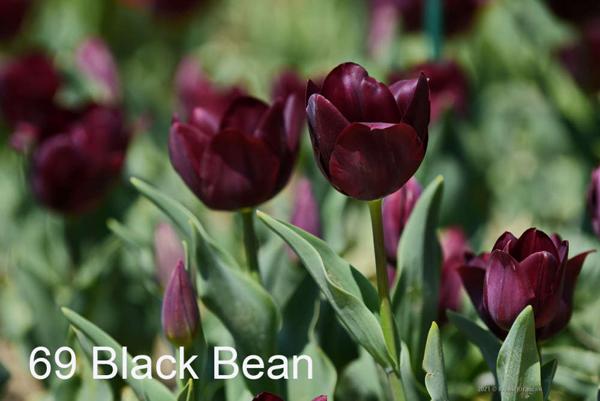 69-Black-Bean
