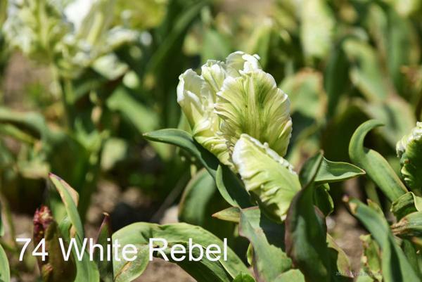74-White-Rebel