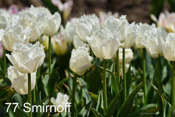 77-Smirnoff