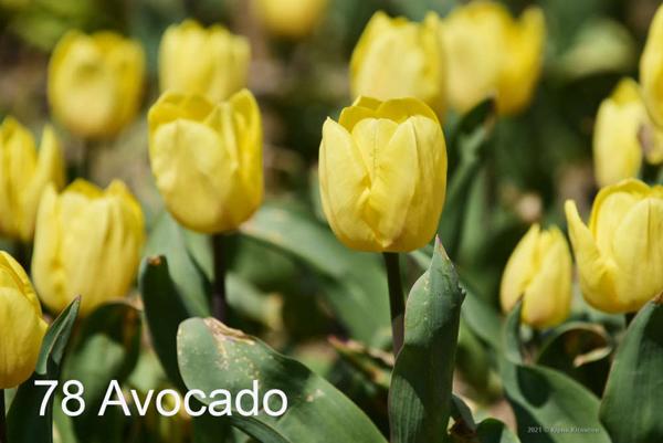 78-Avocado