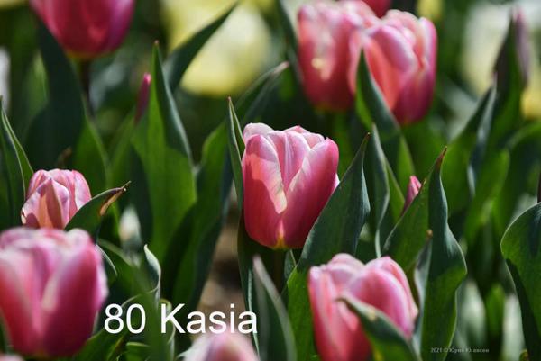 80-Kasia