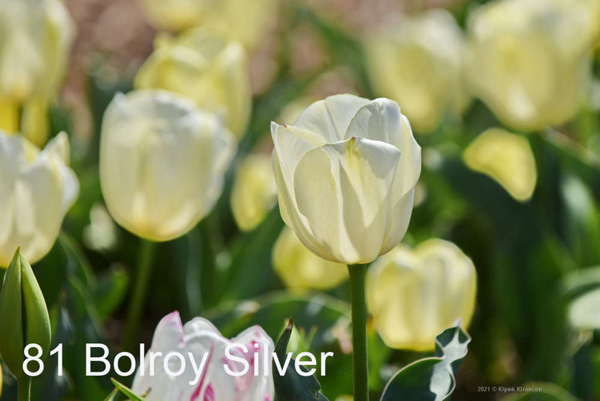81-Bolroy-Silver