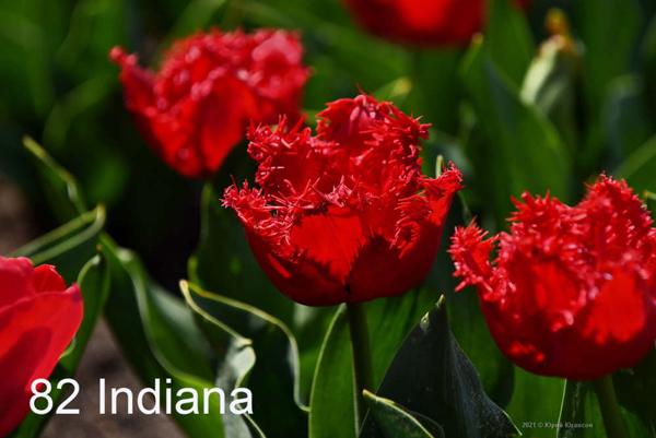 82-Indiana