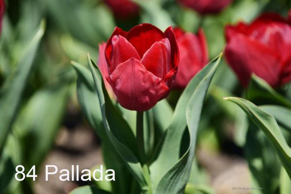 84-Pallada