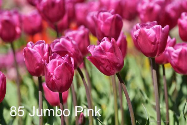 85-Jumbo-Pink