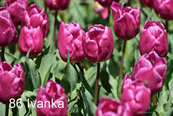 86-Ivanka