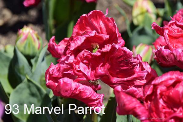 93-Marvel-Parrot