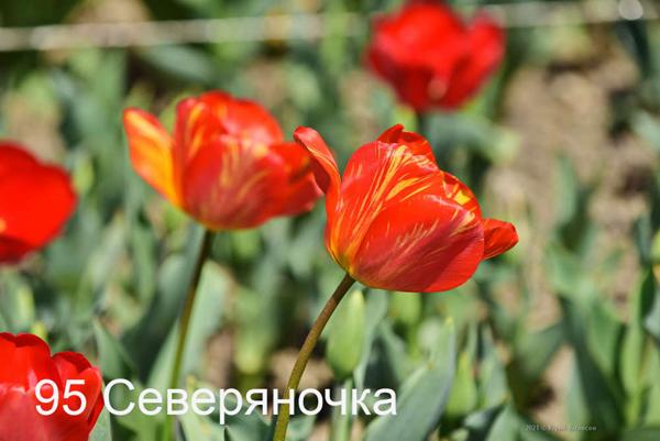 95-Severyanochka