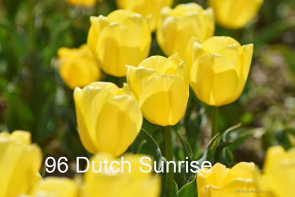 96-Dutch-Sunrise