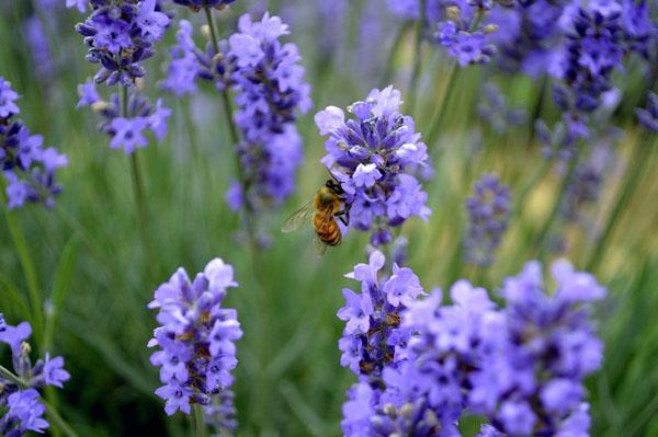 лаванда-пчела